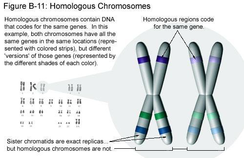 Separation of Homologous chromosomes Paired chromosomes with the same information one from mom and one from dad