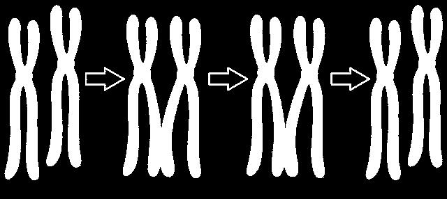 Crossing over homologous pairs cross over in meiosis I and exchange