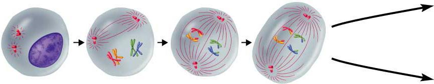 I Interphase I Prophase I Metaphase I Anaphase I Cells undergo a round of DNA replication, forming duplicate Chromosomes.