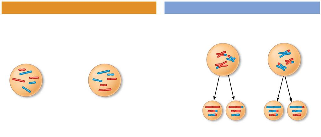 Figure 13.10ab MITOSIS MEIOSIS Anaphase Telophase Sister chromatids separate. Homologs separate.