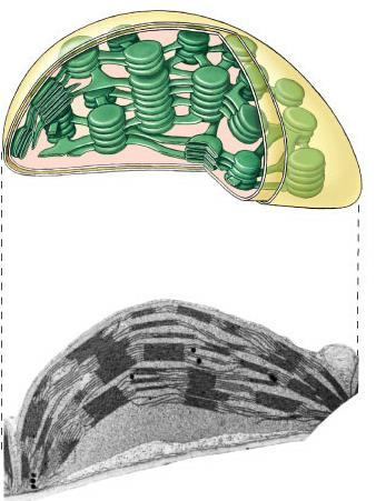 Plant structure Chloroplasts double membrane stroma fluid-filled interior thylakoid sacs grana stacks Thylakoid membrane contains chlorophyll molecules electron transport