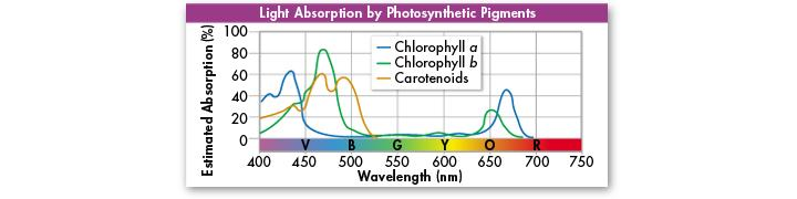 Pigments Gather sun s energy Principal pigment in plants is chlorophyll Chlorophyll absorbs