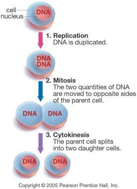 Cell Division Bio 105: Cell Division Starts with DNA Replication
