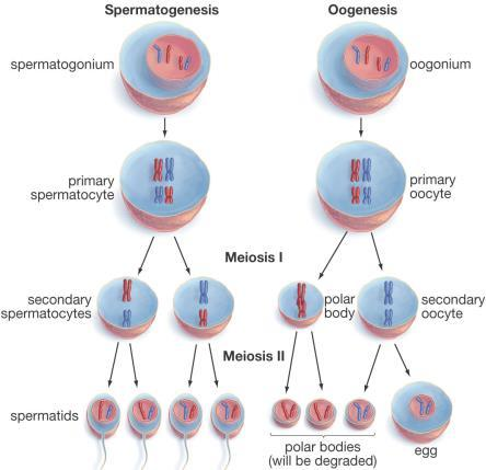 chromosomes, not in duplicated form X or Y