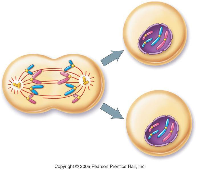 During what stage do the chromosomes being to uncondense?