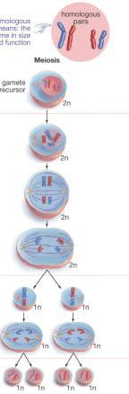 DNA replicates Meiosis Chromosomes become duplicated Cell is diploid (2n) Homologous chromosomes