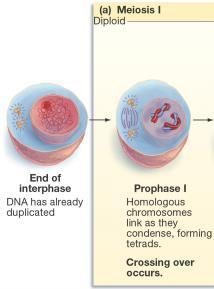 DNA is replicated Prophase I Duplicated chromosomes condense and intertwine Produces genetic