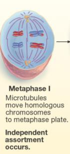 Meiosis: Prophase I Duplicated chromosomes condense and crossover Nuclear membrane breaks down 2