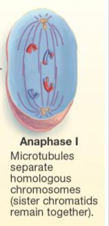 Meiosis: Anaphase I Chromosomes in the pairs are separated Different than mitosis Here the chromosomes in a pair