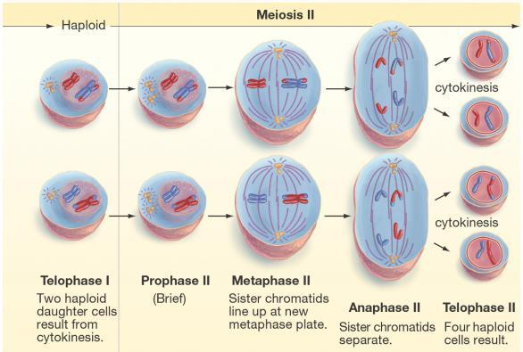 divides in half Have 2 haploid cells (1n) 23 chromosomes total Chromosomes are in duplicated form Cell now enters