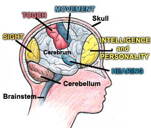 Cephalization Concentration of sensory and brain structures in the anterior (head) end of the animal Nervous tissue is found only