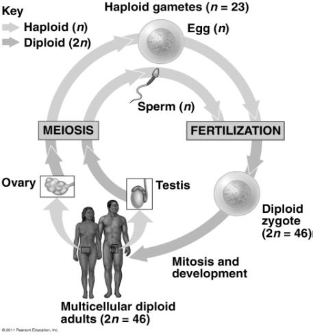 Maternal homologue gametes fuse (fertilization) to produce