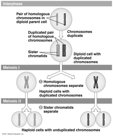 Meiosis I Like mitosis, meiosis begins after replication of DNA.
