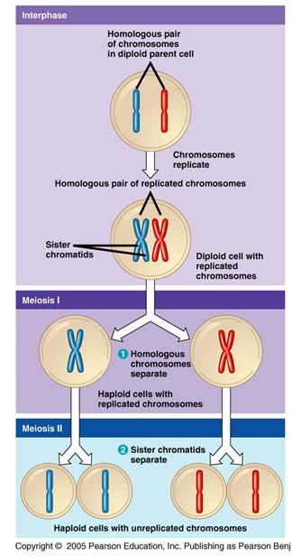 Need for cell division process to produce haploid cells for reproduction Meiosis Cell division with single replication of the genetic material followed by two consecutive cytoplasmic divisions