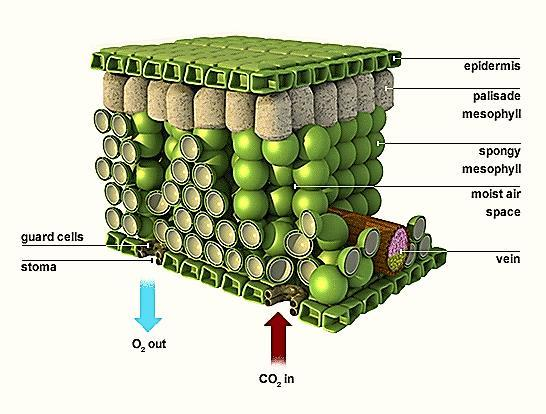 The Where: Mainly occurs in the leaves: Stoma - pores Mesophyll cells - Occurs in the Chloroplasts inside the Mesophyll Cell Inside the
