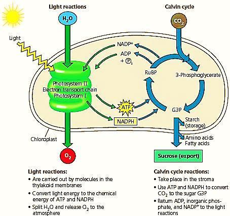 The How: A Look inside Photosynthesis There are two separate reactions that occur inside the process of Photosynthesis: Light (Dependent)