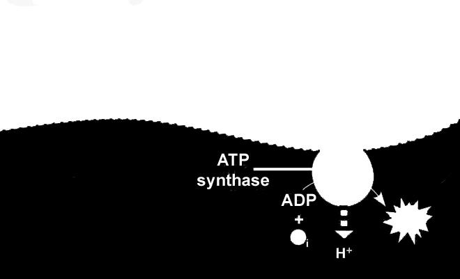 Occurs in the stroma Uses ATP and NADPH from light reaction as energy. Atmospheric C02 is used to make sugars like glucose and fructose.