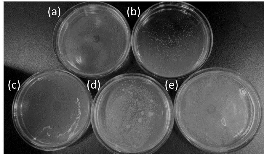 Fig. S5 Photographs of bacterial colonies formed by E.
