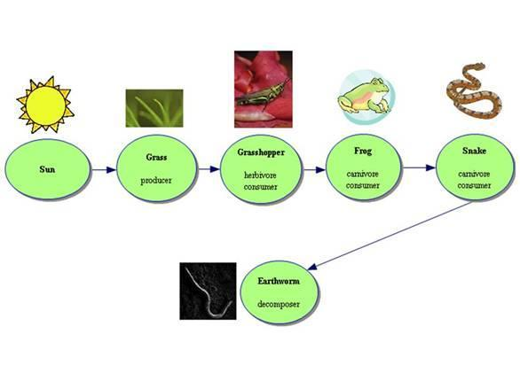 Food Chain: a series of steps in an ecosystem in which organisms transfer energy by eating and being eaten.