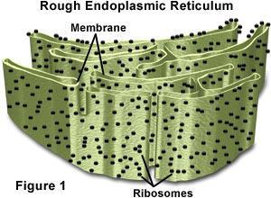Eukaryotes Rough Endoplasmic Reticulum modifies proteins and is studded
