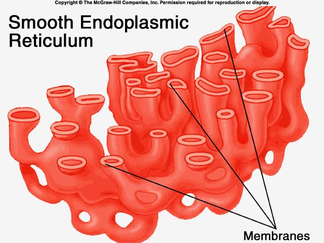 Smooth Endoplasmic Reticulum synthesizes membrane lipids and detoxifies