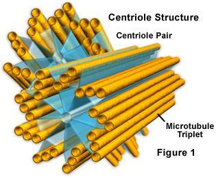 or older cell parts Centrioles help organize