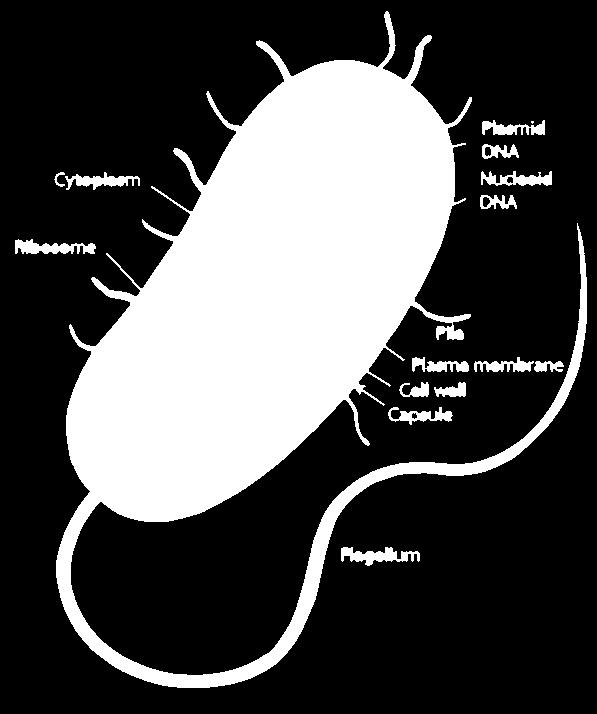 Prokaryotes Prokaryotes are generally smaller and simpler than eukaryotes Prokaryotic cells do not separate their genetic