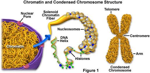 Deoxyribonucleic acid The hereditary material of the cell Contains the information needed to make the parts of each cell Contains the information that determines how the organism is made up and works