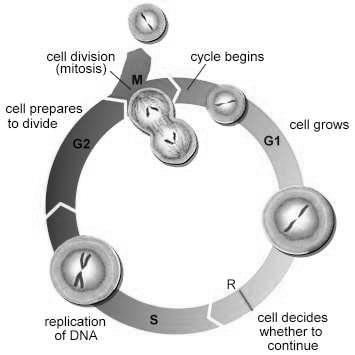 Mitosis The duplication and division of the nucleus of a cell and its chromosomes during cell reproduction Body cells reproduce through mitosis o All cells of the body EXCEPT for sex cells (gametes)