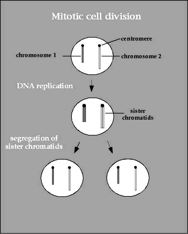o Prophase 1 st stage Longest phase Chromatin tightens and condenses into chromosomes (shaped like an X ) Each chromosome is a single structure that contains genetic material that was replicated