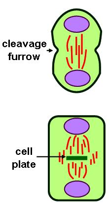 Chromatin is always found in the nucleus. It is only slightly coiled, with the DNA wrapped around histone proteins.