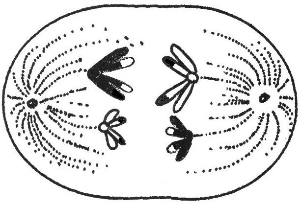 Prophase I of Meiosis I (Crossing Over) g.