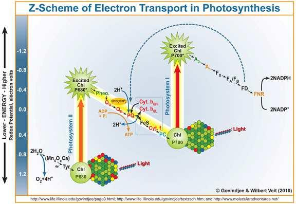 Long Answers Questions: 1. In the light of modern researches, describe the process of electron transport, cyclic and non-cyclic photo-phosphorylation?