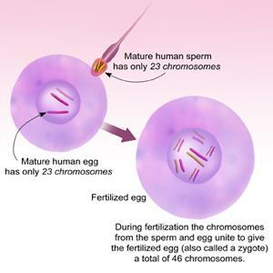 Two parents give DNA to offspring Zygote = union of 2 gametes (sex cells) by