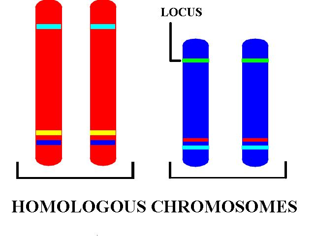 The Genetic material (chromosomes) come in pairs.