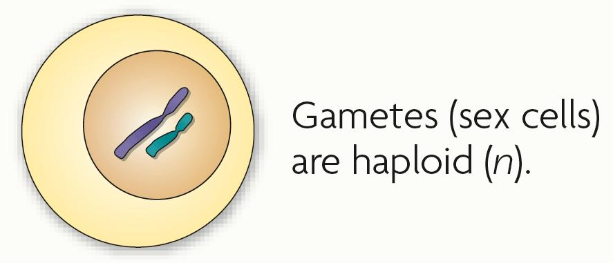 Haploid (n) cells have one copy of every chromosome.