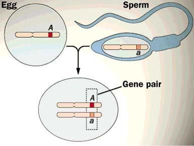 1. Random Fertilization Egg and sperm meet randomly!