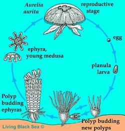 Life cycle of cnidarians Budding (asexual) produces polyps.