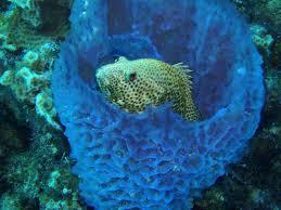 Phylum Porifera- Sponges Sponges are filter feeders! Some can filter up to 20x their own volume of water in 1 minute.