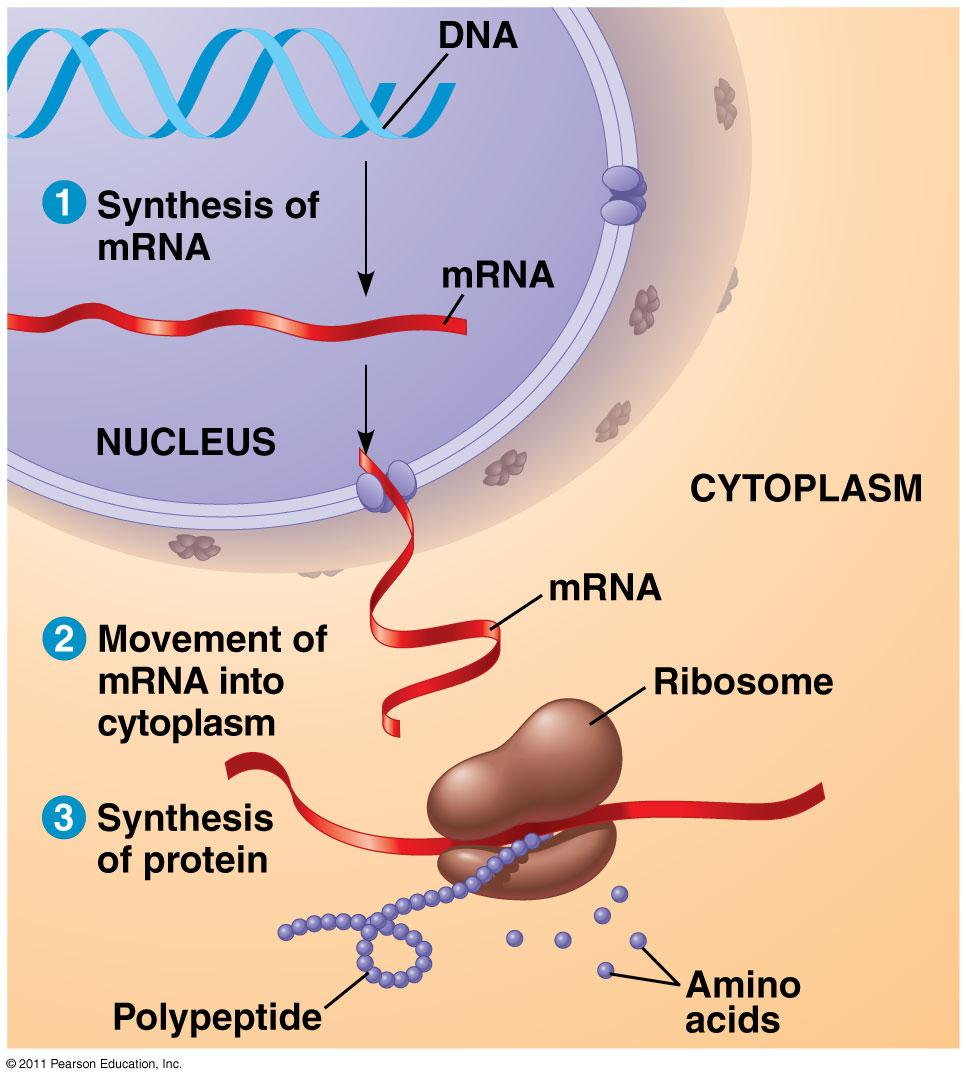 (RNA) DNA and RNA direct, which occurs on the ribosomes.