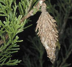 Bagworms Bagworms are caterpillars that make distinctive spindle shaped bags on a variety of trees and shrubs.