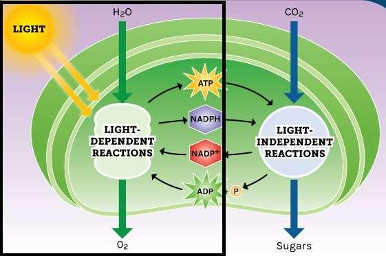 What are the overall products of photosynthesis? dependent reactions -Dependent Reactions Overview The first stage of photosynthesis Requires sunlight (AKA: -dependent reactions) Where does it happen?