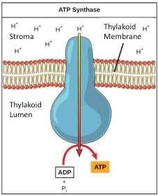 ATP synthase then takes a phosphate group and adds it to ADP to make ATP.