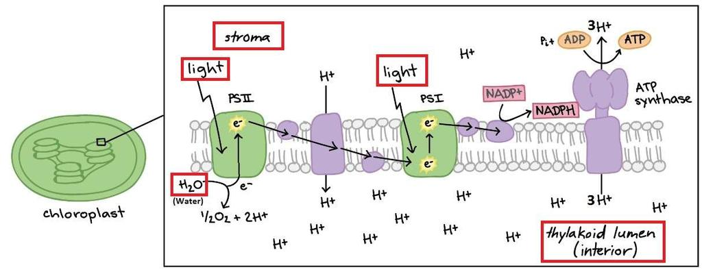 light dependent reactions occur? What is produced in the light reactions? What is NADP+? What is NADPH?