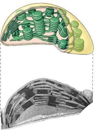 Chloroplast structure Chloroplasts double membrane stroma fluid-filled interior thylakoid sacs grana stacks Thylakoid membrane contains chlorophyll molecules electron