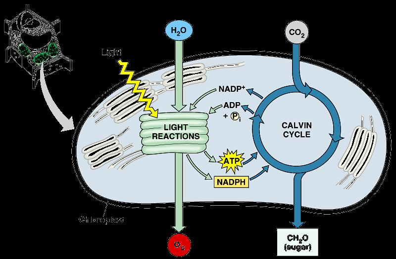 Photosynthesis Light reactions light-dependent reactions energy conversion reactions convert solar energy to chemical energy ATP & NADPH Calvin cycle