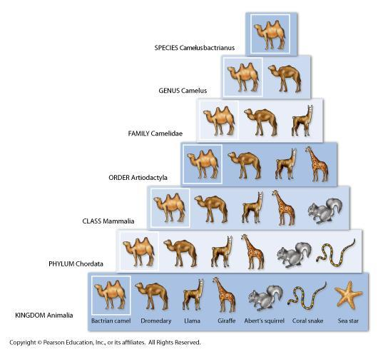The seven levels of classification: Kingdom Broad Phylum Class Order Family Genus Species Specific Classification and Evolution Today s system of classification considers the history of a species