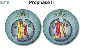 Prophase II Chromatin Chromosomes Nuclear membrane