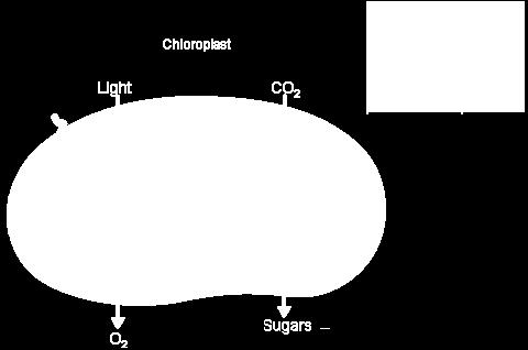 PHOTOSYNTHESIS OVERVIEW Pearson
