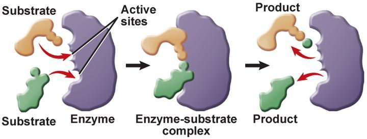 How Enzymes Work The reactants that bind to the enzyme are called substrates. The specific location where a substrate binds on an enzyme is called the active site.